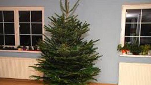 Zber živých vianočných stromčekov